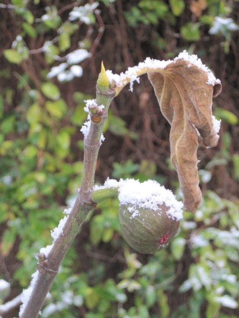 2017_Kräutergarten_Winterimpressionen14_Feigen