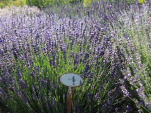 Kraeutergarten-Lavendel