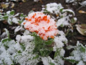 2017_Kräutergarten_Winterimpressionen06_Ringelblume