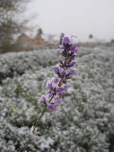 2017_Kräutergarten_Winterimpressionen09_Lavendelblüte