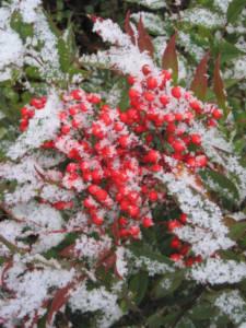 2017_Kräutergarten_Winterimpressionen18_Heiliger_Bambus